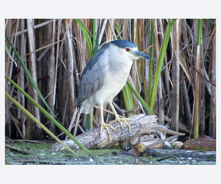 Night Heron, Bowmanville Marsh