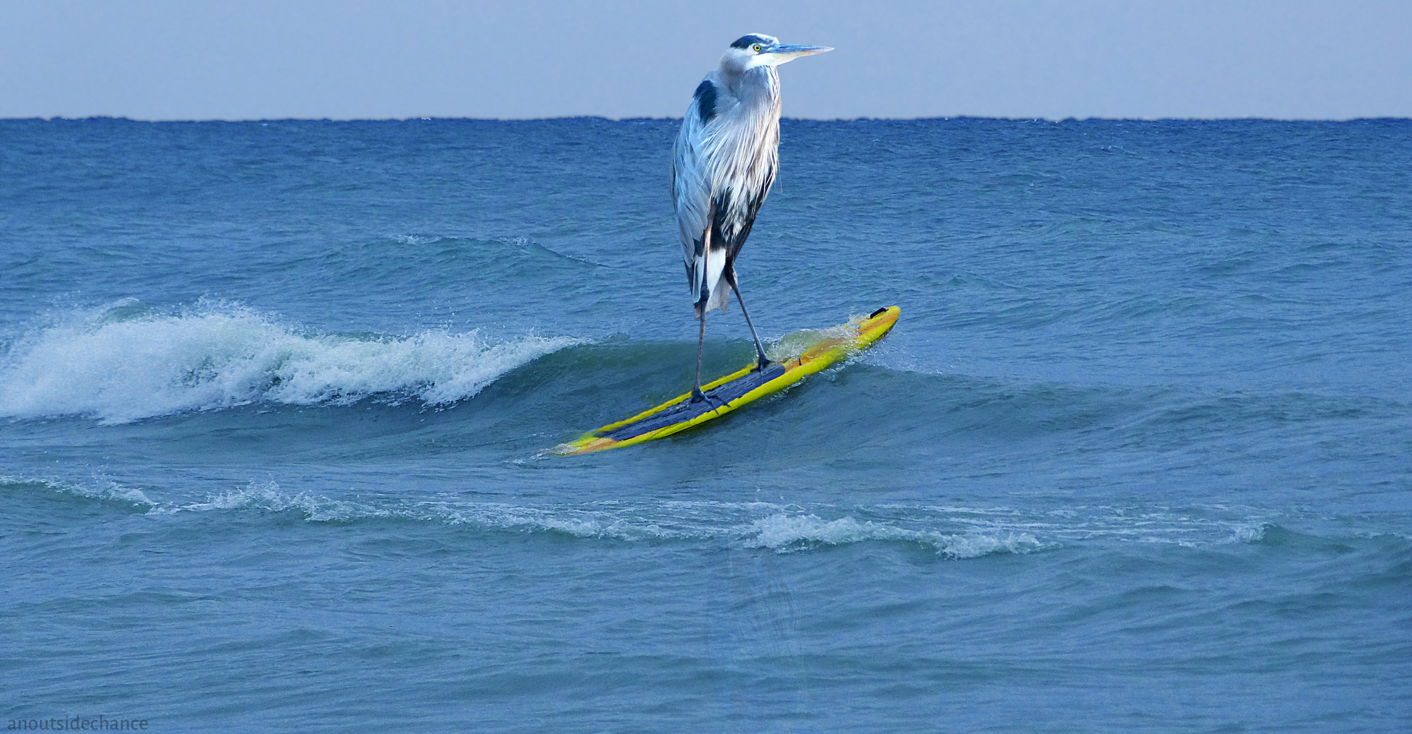 Great Blue Heron on paddle board.