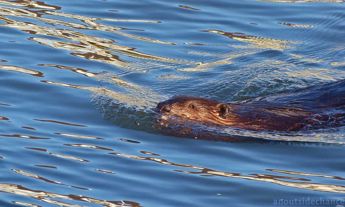 Beaver in Bowmanville Marsh