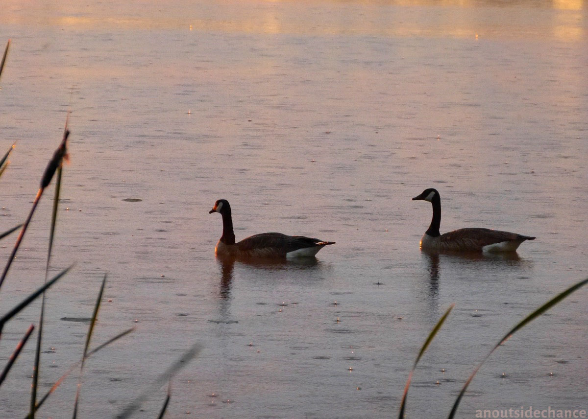 Canada Geese in Bowmanville Marsh